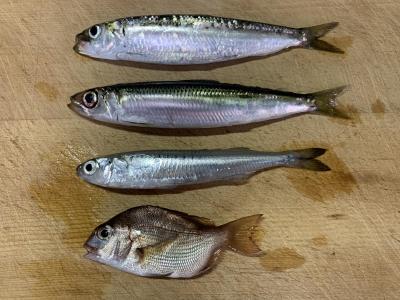 2019年9月15日 釣れた魚種