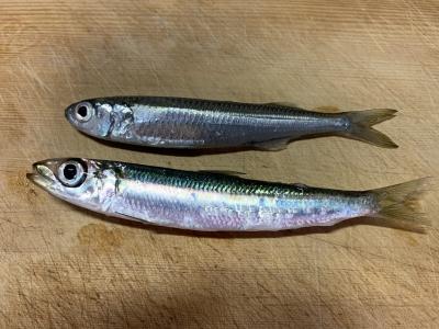 2019年10月6日 釣れた魚種