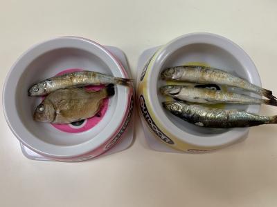 兄妹猫の朝食は釣りたての稚鯛(マダイ)とウルメイワシとトウゴロウイワシを焼いたもの