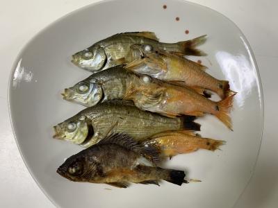 我が家の兄妹猫の朝食は根魚三魚種を焼いたもの