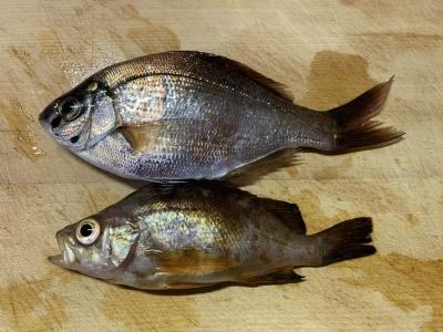 2020年2月29日 北条湾釣行 釣果(ウミタナゴとメバル)