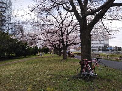 鶴見川の桜