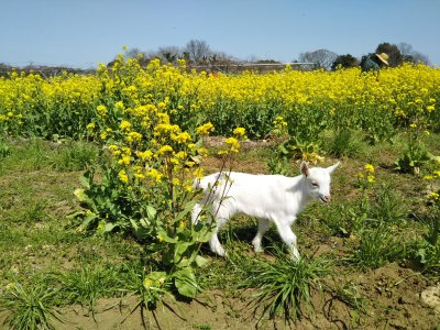 小麦の草刈り