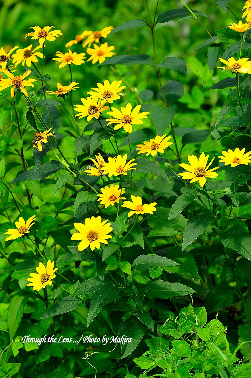 キク科の花?2
