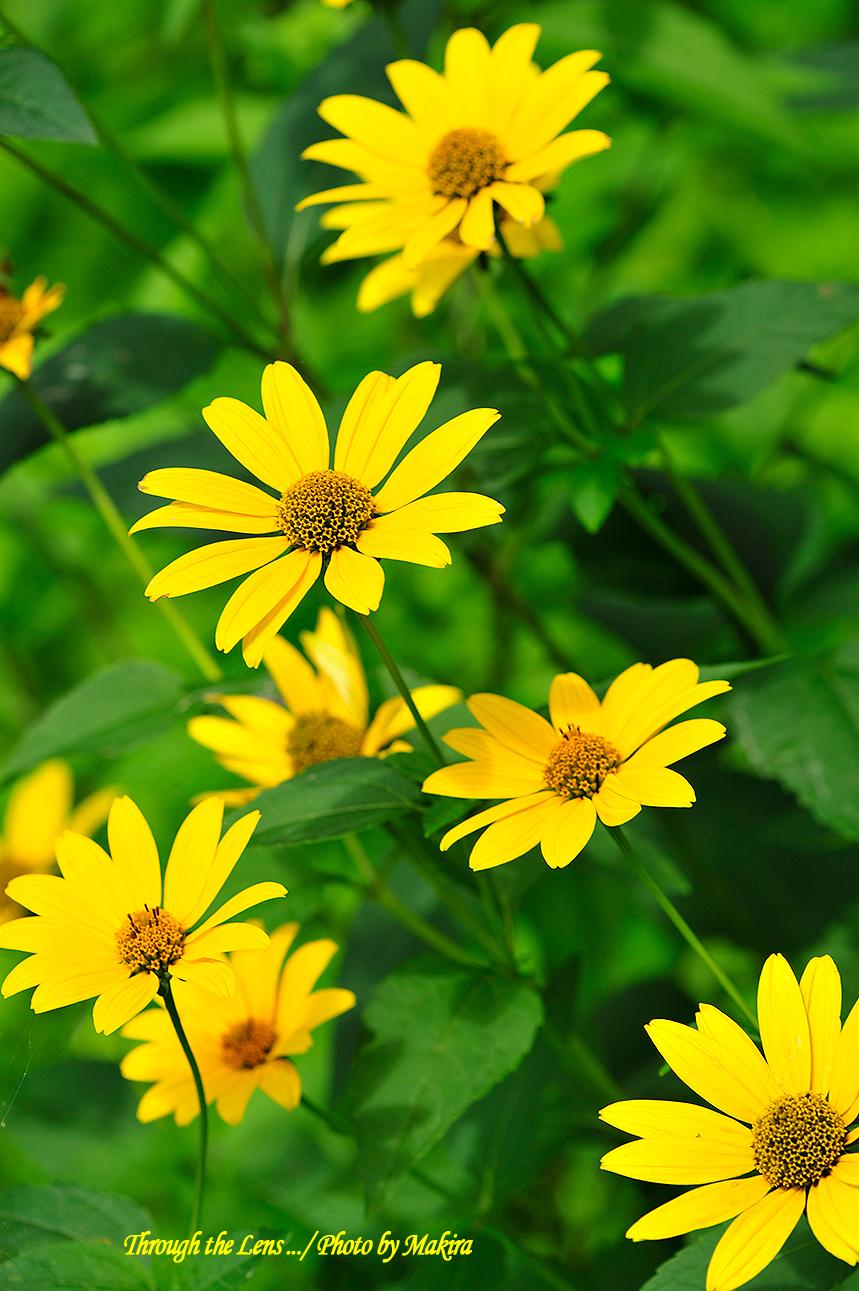 キク科の花?3