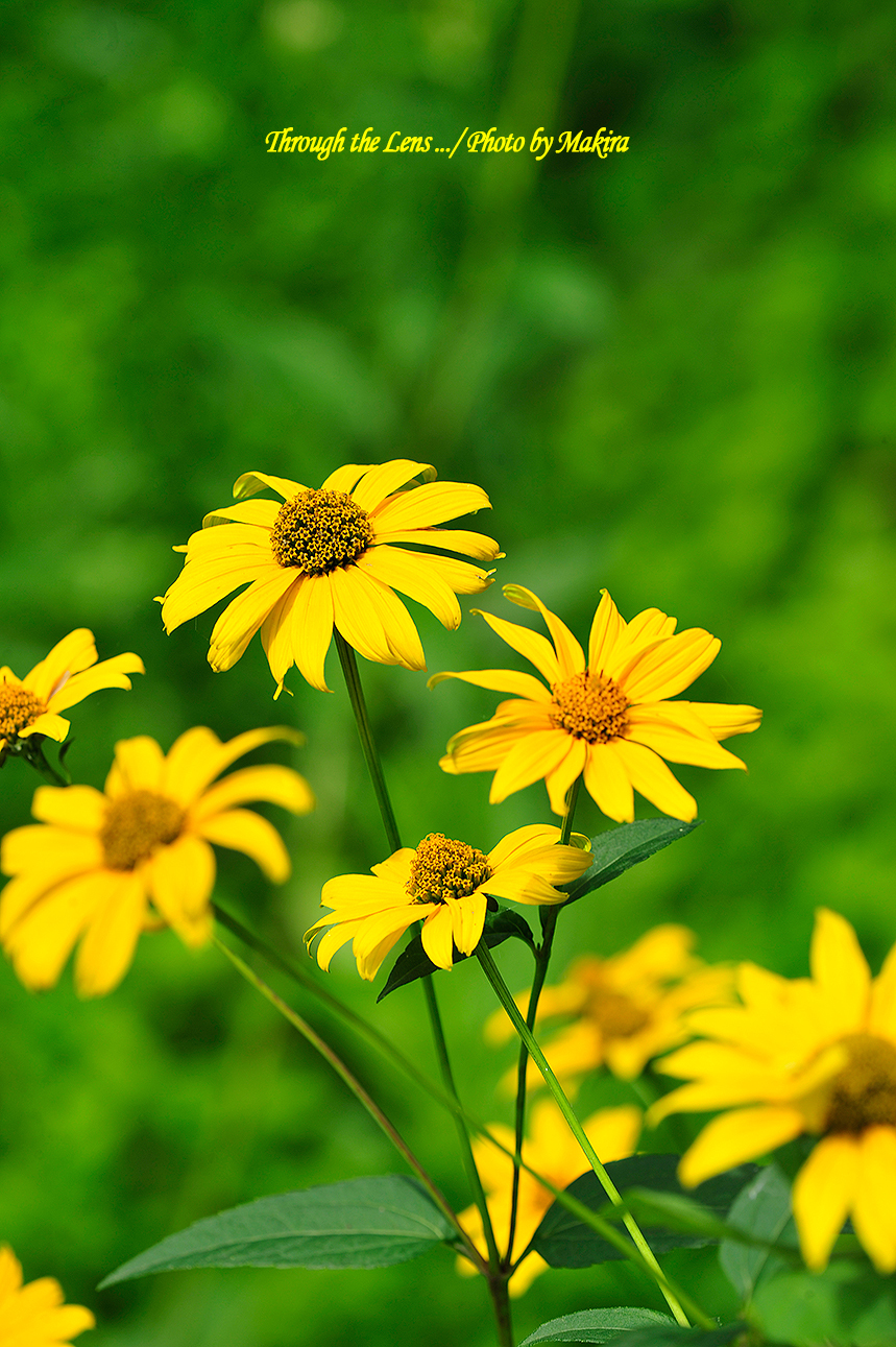 キク科の花?4