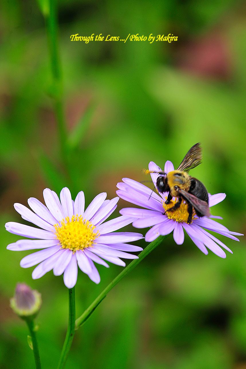 チョウセンヨメナとクマバチ1