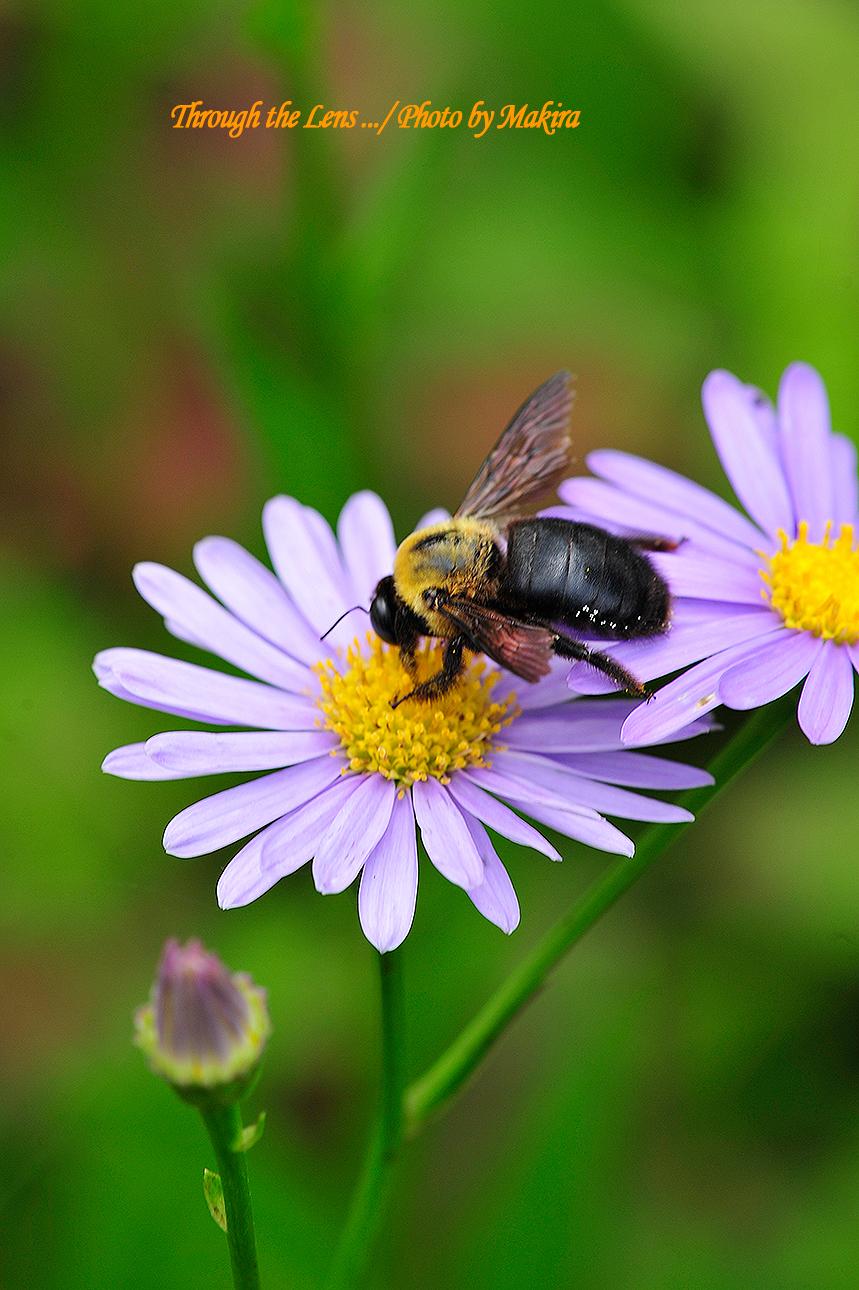 チョウセンヨメナとクマバチ2