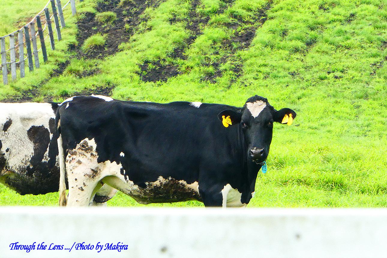 乳牛TZ4