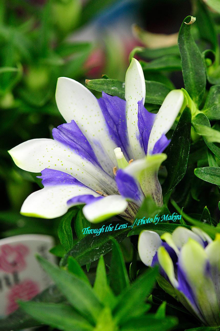 リンドウ園芸種1
