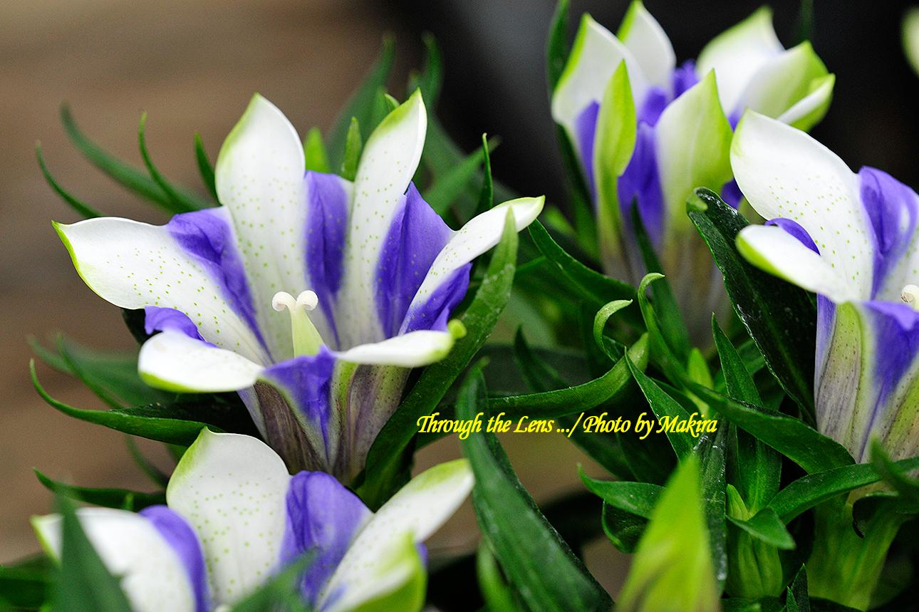 リンドウ園芸種2