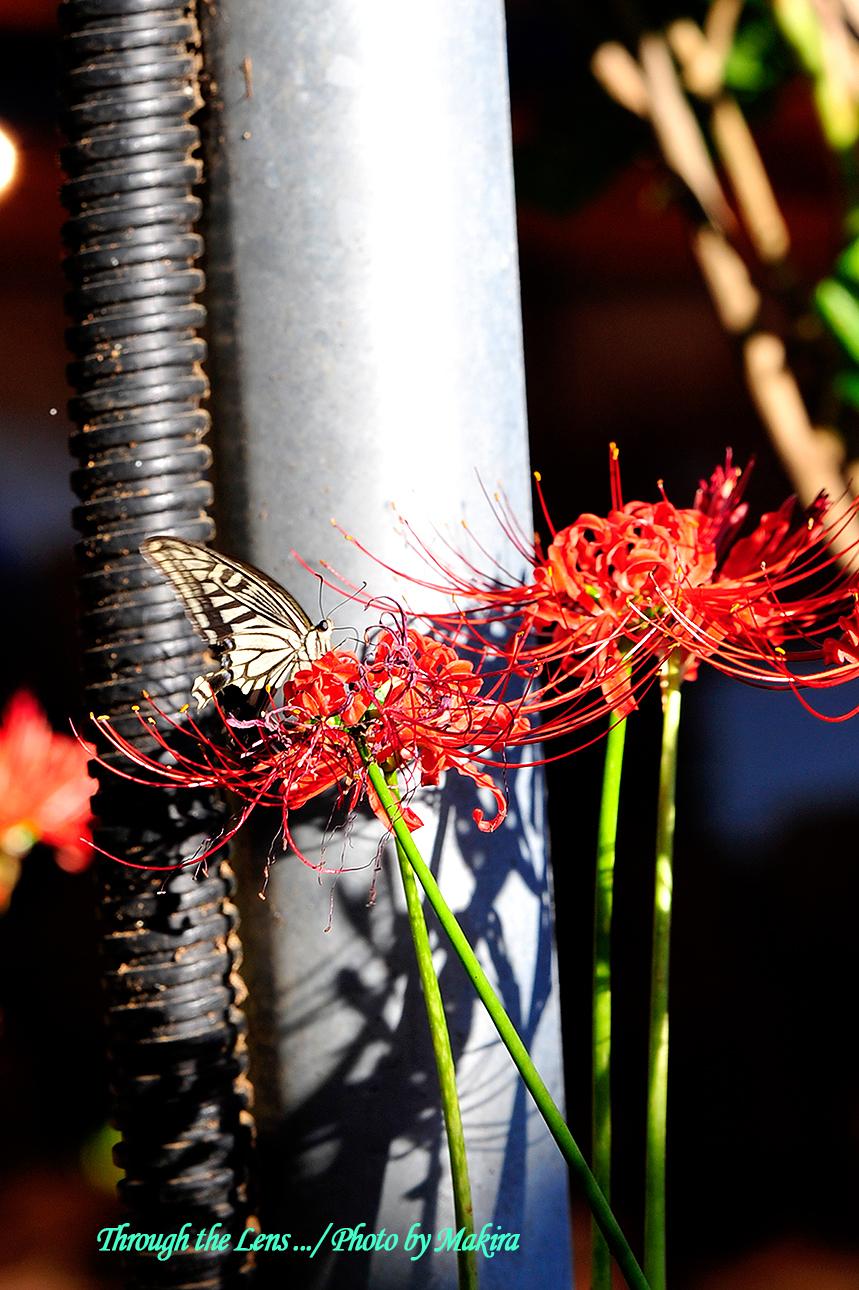 ヒガンバナとアゲハチョウ1