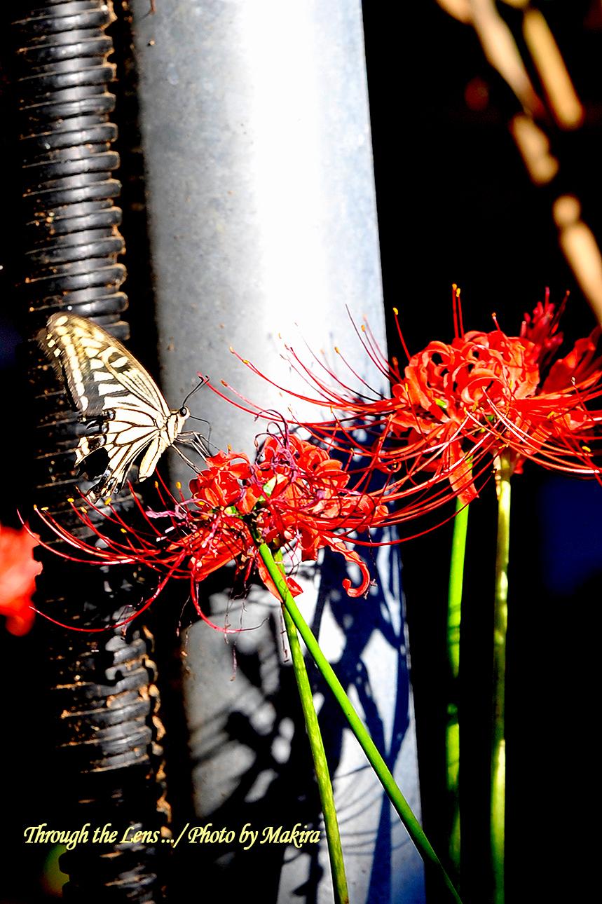 ヒガンバナとアゲハチョウ2