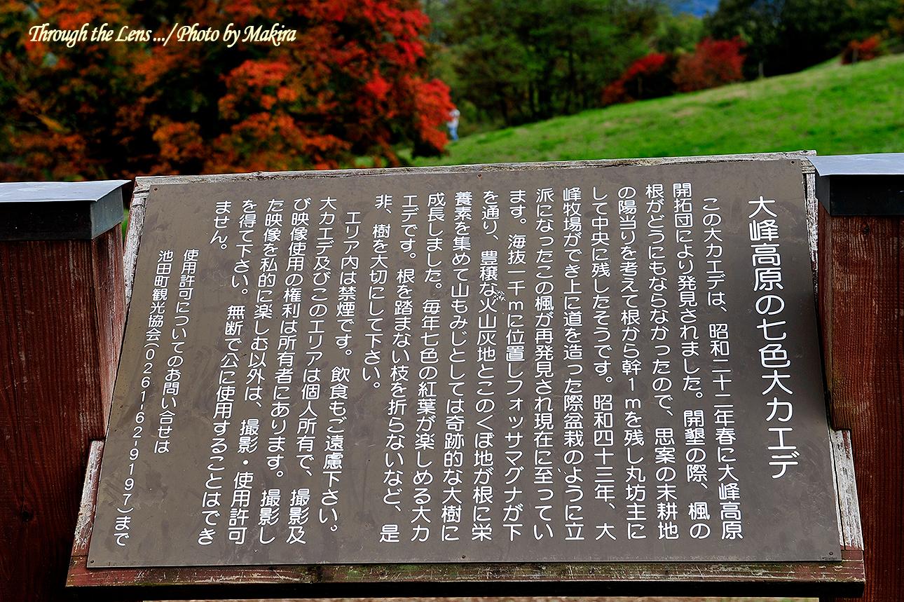 大峰高原七色大カエデ説明1