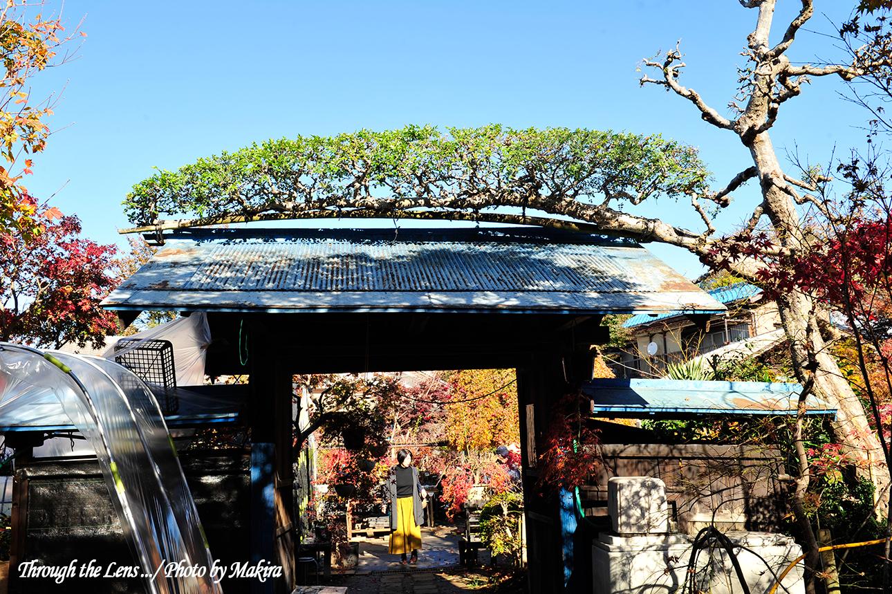 小林槭樹園3