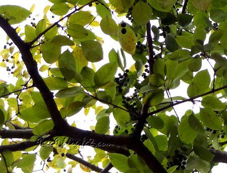 ぶらぶら 散歩で 樹々の実りを眺める 2