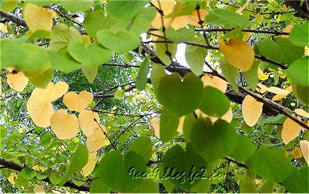 緑と黄色のコントラストが美しい紅葉1