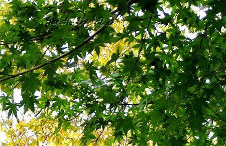 緑と黄色のコントラストが美しい紅葉2