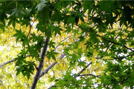 緑と黄色のコントラストが美しい紅葉3