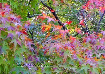 紅葉 になりかけも 美しいのです 2