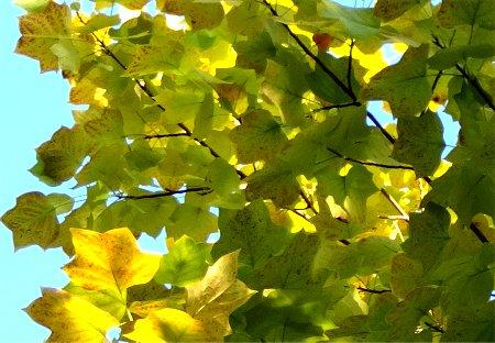 空の色や光が紅葉に影響する様7