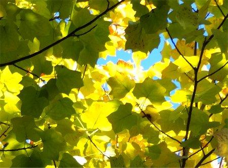 空の色や光が紅葉に影響する様6