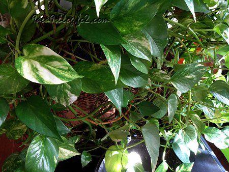 実家の植物 1
