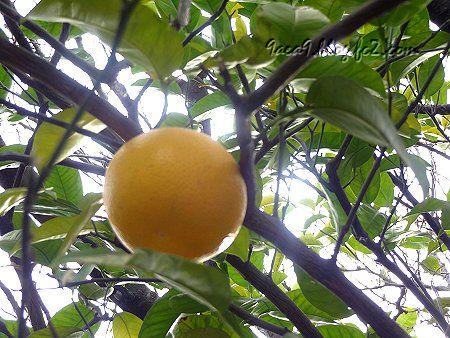 散歩の途中でめっけた 大きな果物 表面のぼこぼこ感が異なるので 別物かな