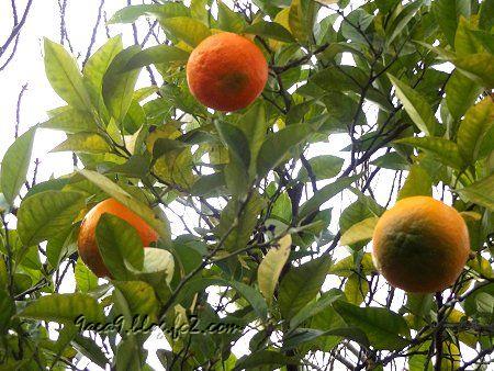 散歩の途中でめっけた 大きな果物 表面のぼこぼこ感が異なるので 別物かな2