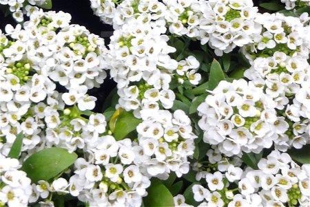 昨日花屋さんで見た白い花 2