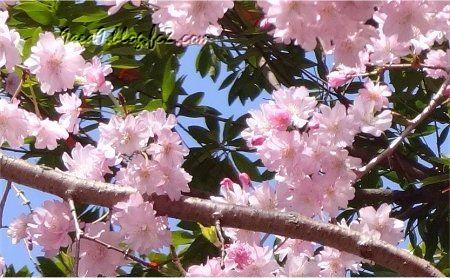 京都の桜 3月後半