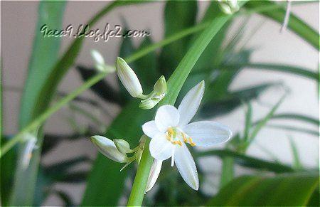 オリヅルランの花が咲きました 1