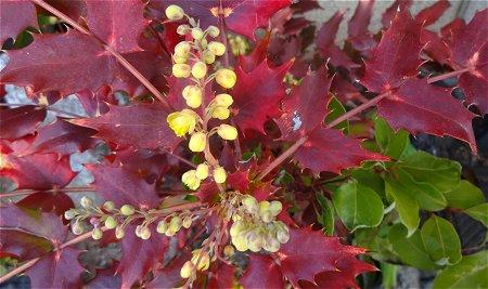 赤い葉の柊(ヒイラギ) 1