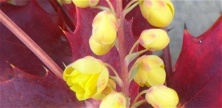 赤い葉の柊(ヒイラギ) 2