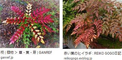 赤い葉の柊(ヒイラギ) 3