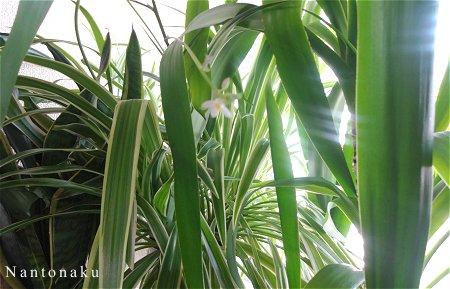 Nantonaku 3-18 良い天気で 20度ほど オリヅルランに花が咲きました 1