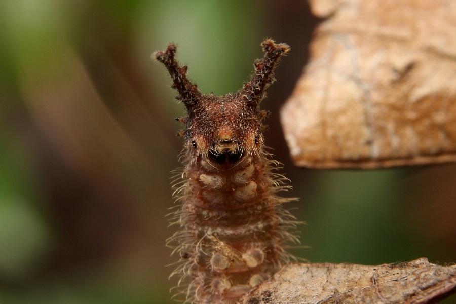 オオムラサキ幼虫2s