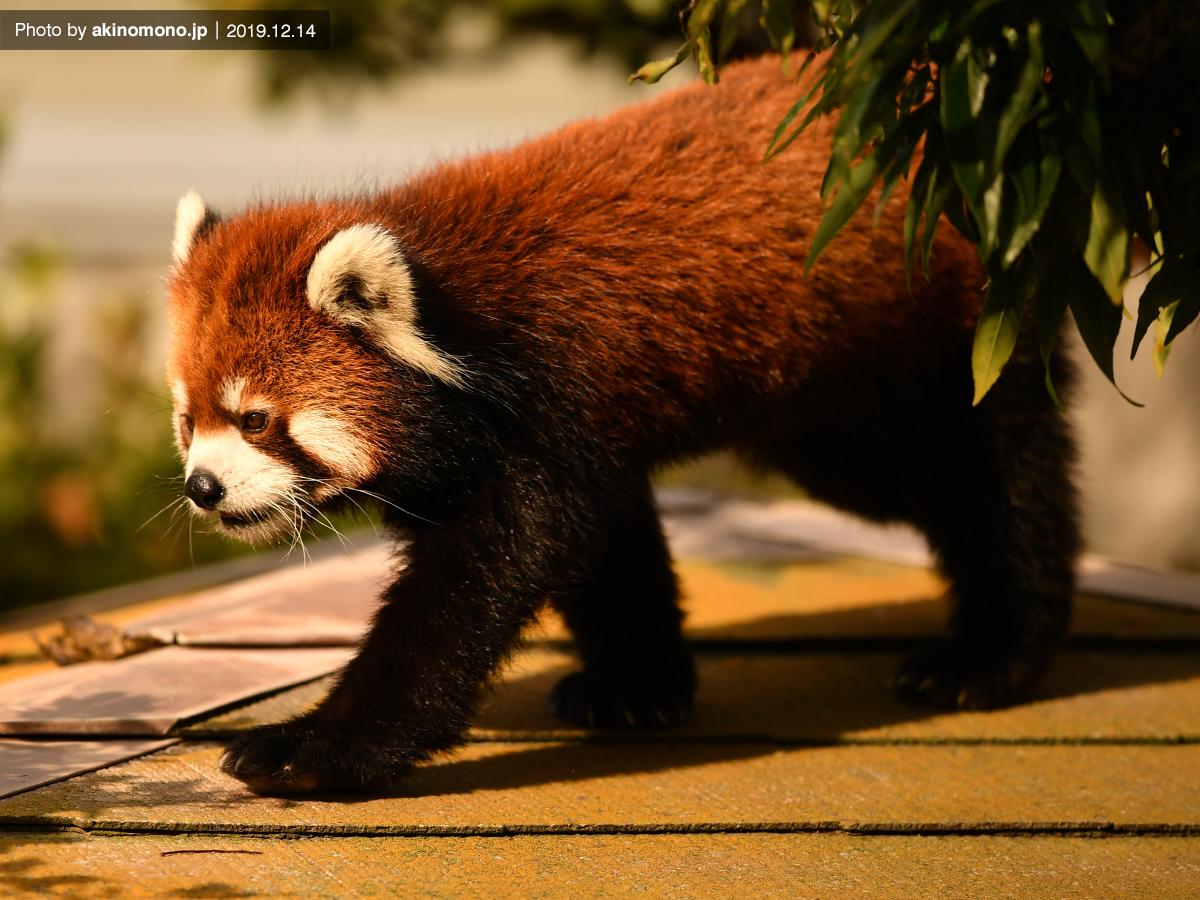 安佐動物公園のレッサーパンダ
