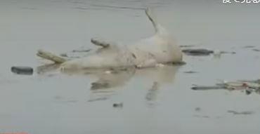 ASF pig floating in Marikina river