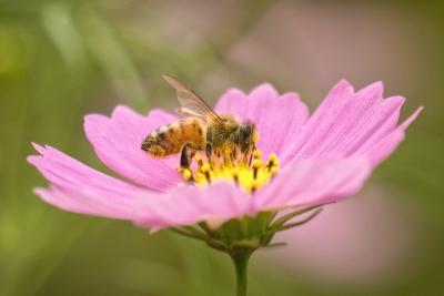 越智町コスモスの中のハチ