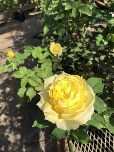 ブログ1109フレッシュレモン