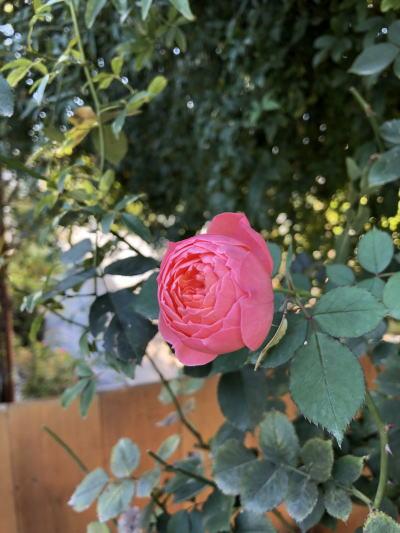 ブログ1207ロマンティックチュチュ