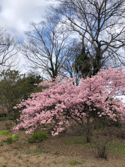 ブログ0229桜