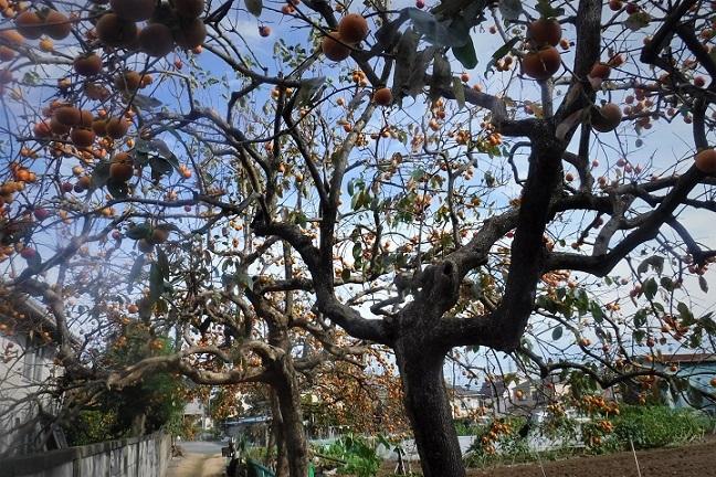 19.10.25  柿のトンネルと爪痕散歩 (7)