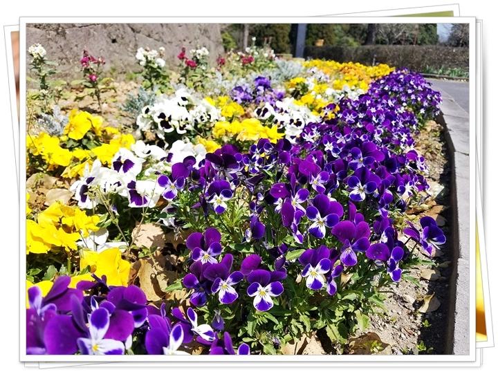 鹿児島菜の花1-1