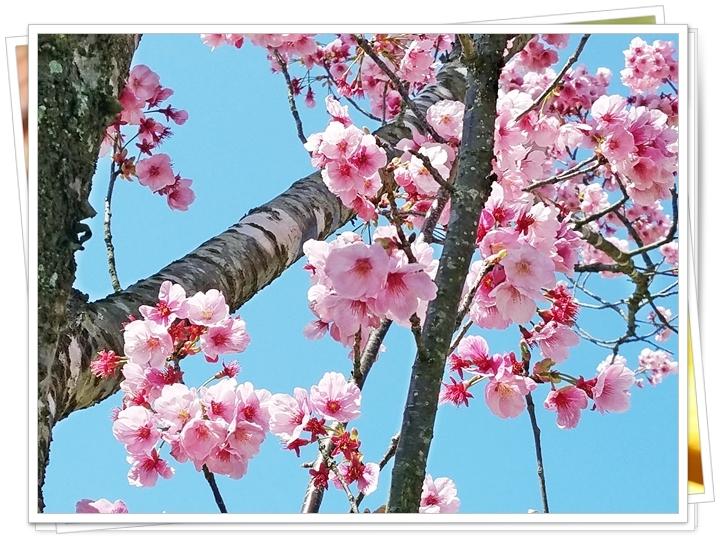 鹿児島菜の花1-3