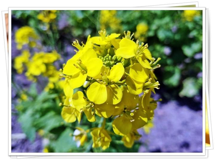 鹿児島菜の花2-2