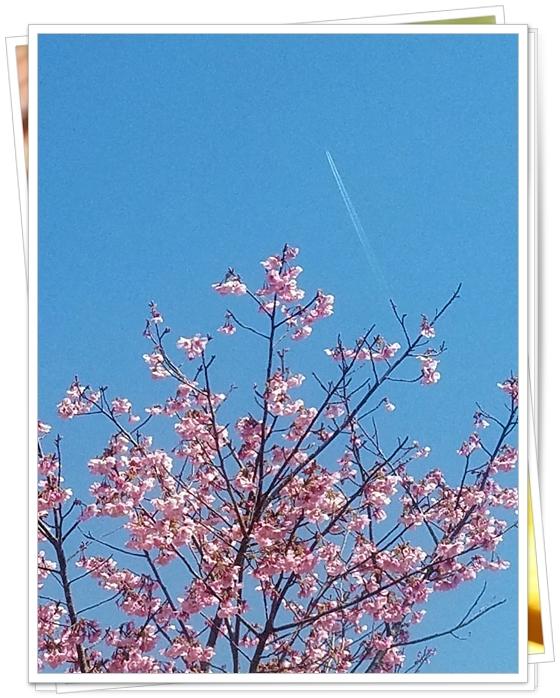 鹿児島菜の花3-1