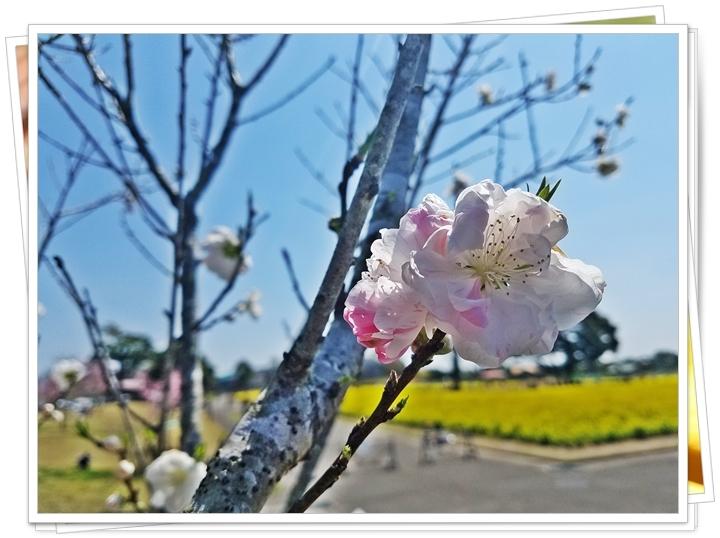 鹿児島菜の花3-2