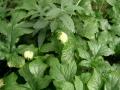 Dorstenia contrajerva1